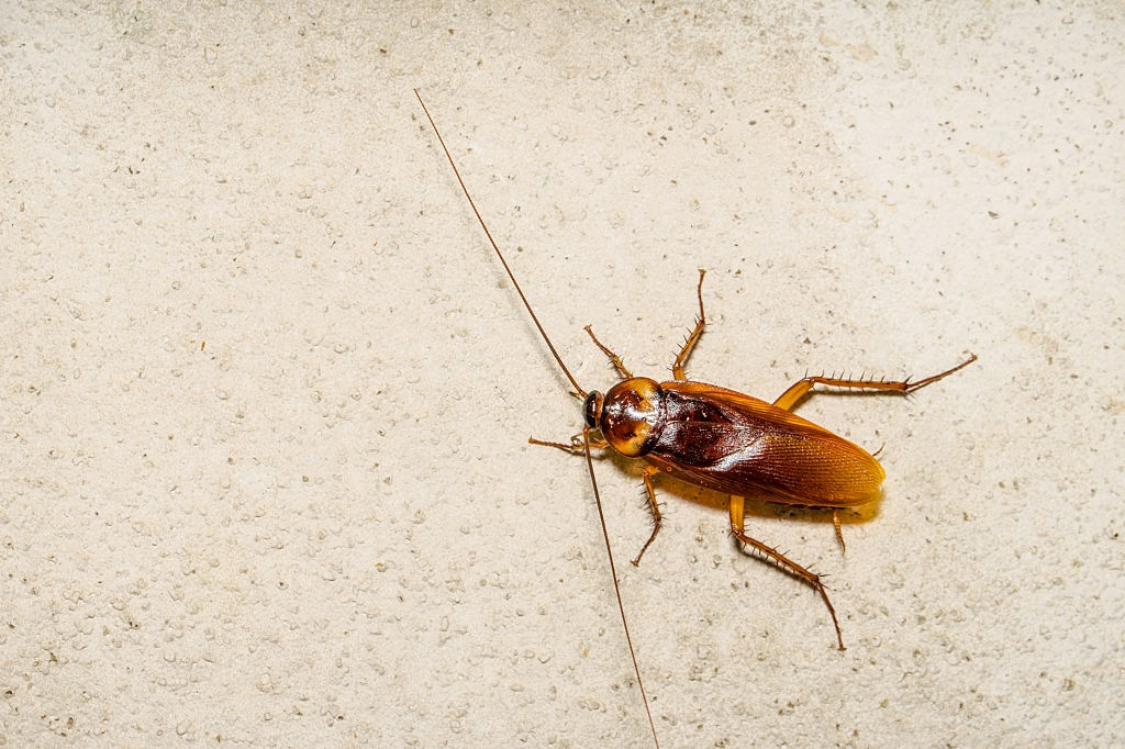 Cockroach Control, Pest Control in South Norwood, SE25. Call Now 020 8166 9746