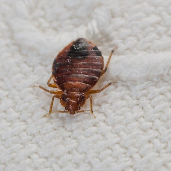 Bed Bugs, Pest Control in South Norwood, SE25. Call Now! 020 8166 9746