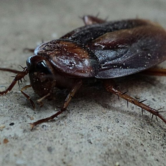 Cockroaches, Pest Control in South Norwood, SE25. Call Now! 020 8166 9746