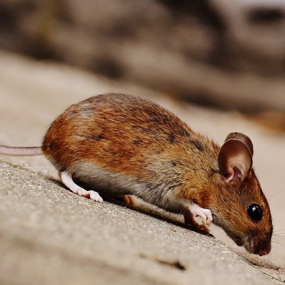 Mice, Pest Control in South Norwood, SE25. Call Now! 020 8166 9746