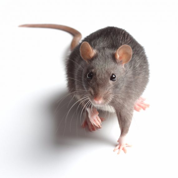Rats, Pest Control in South Norwood, SE25. Call Now! 020 8166 9746