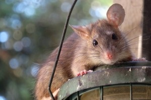 Rat extermination, Pest Control in South Norwood, SE25. Call Now 020 8166 9746