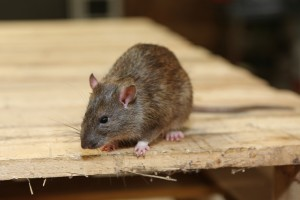 Rodent Control, Pest Control in South Norwood, SE25. Call Now 020 8166 9746